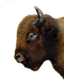 Getrennter Büffel Stockbild