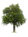 Getrennter Birnen-Baum während des Sommers Stockfotos