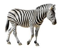 Getrennter Burchell Zebra Lizenzfreie Stockbilder