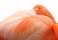 Getrennter Flamingo Stockfotografie