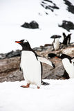 Getrennter gentoo Pinguin Stockfoto