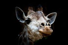 Getrennter Giraffekopf im schwarzen Hintergrund Lizenzfreies Stockfoto