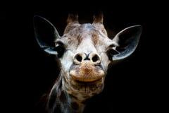 Getrennter Giraffekopf im schwarzen Hintergrund Stockfotografie