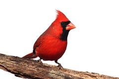 Getrennter Kardinal auf einem Stumpf lizenzfreies stockbild