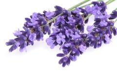 Getrennter Lavendel Stockfotos