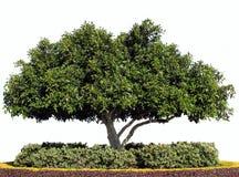 Getrennter Moreton Schacht-Feige-Baum lizenzfreie stockfotografie