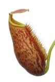 Getrennter Nepenthes (Kannenpflanze) Lizenzfreie Stockfotos
