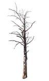 Getrennter toter trockener Baum Stockbild