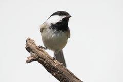 Getrennter Vogel auf einem Stumpf lizenzfreies stockfoto