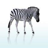 Getrennter Zebra