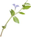 Getrenntes blaues Blumensingrün stockfoto