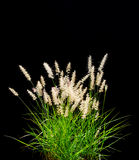 Getrenntes dekoratives Gras auf Schwarzem Stockbild