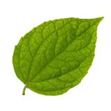 Getrenntes grünes Blatt Stockbilder