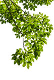 Getrenntes grünes Blatt mit Ausschnittspfad Stockbilder