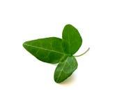 Getrenntes grünes Efeublatt Stockbild