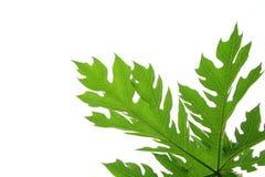 Getrenntes grünes Papayablatt mit weißem Hintergrund Stockfotos