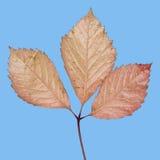 Getrenntes Herbstblatt Stockfoto