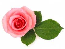 Getrenntes Rosa stieg mit grünem Blatt Lizenzfreies Stockfoto