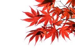 Getrenntes rotes japanisches Ahornholz Stockfoto