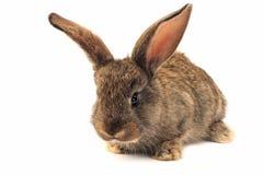 Getrenntes schläfriges Kaninchen Stockbild