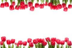 Getrenntes Tulpe-Feld Stockbilder