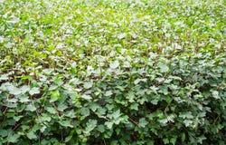 Getrimmter Busch Hintergrund, Natur Lizenzfreie Stockfotografie