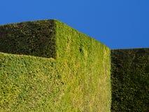 Getrimmter Eibe-Baum-Hecke-Auszug Stockfoto