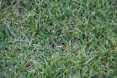 Getrimmtes und trockenes Gras des Grüns, Rasen stockfotografie