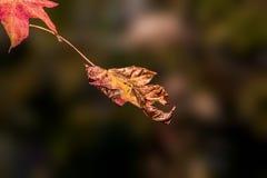 Getrocknet herauf das Herbstblatt bereit zu fallen stockfotos