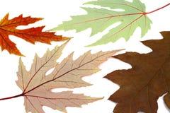 Getrocknet herauf Herbstblätter eines Ahornholzes lizenzfreies stockfoto