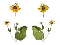 Getrocknet und gedrückt den wilden Blumen des Frühlinges lokalisiert auf weißem Hintergrund Stockbilder