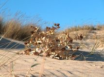 Getrocknete Anlage auf Sanddünen stockfoto