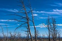 Getrocknete Bäume nach einem Feuer Lizenzfreie Stockfotografie