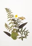 Getrocknete Blätter des Farns, Tansy, Butterblume, Klee, Salbei, foalfoot stockfotos