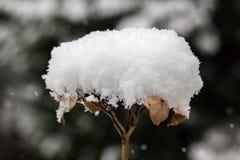 Getrocknete Blüte mit einem Hut des Schnees Lizenzfreie Stockfotos