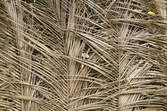 Getrocknete Blattbeschaffenheit der Palme Stockfotos