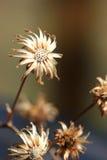 Getrocknete Blumen Stockbild