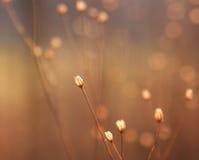 Getrocknete Blumenknospen des Unkrauts im Sonnenschein Lizenzfreies Stockfoto