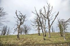 Getrocknete Buchenbäume Lizenzfreies Stockfoto