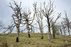 Getrocknete Buchenbäume Lizenzfreies Stockbild