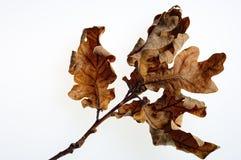 Getrocknete Eichen-Blätter Lizenzfreies Stockbild