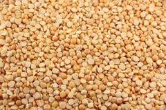 Getrocknete Erbse (Pisum sativum) Lizenzfreies Stockbild