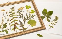 Getrocknete Forstpflanzen für Herbarium im Rahmen Stockfoto