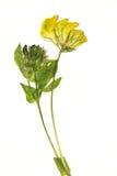 Getrocknete gelbe Blume Lizenzfreies Stockfoto
