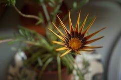 Getrocknete gelbe und braune Blumenblattblume mit Grün verlässt in rotem cla Stockbild