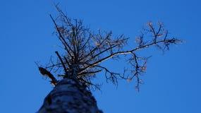 Getrocknete Kiefer im Herbst Die Ansicht von unterhalb stockbild