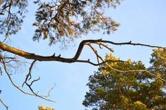 Getrocknete Kiefernniederlassung gegen den blauen Winterhimmel Stockfotografie