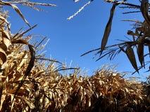 Getrocknete Maisstiele unter blauem Himmel stockfoto