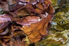 Getrocknete Meerespflanzen-Mischung Stockfotografie