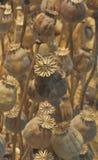 Getrocknete Mohnblumenblumen. stockfotografie